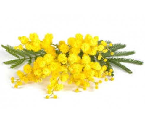 Mimosa Fragrance Oil